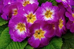 Colors (kiareimages1) Tags: flowers fleurs fiori flores spring summer colors colori couleurs colores images imagery immagini plantes purple fucsia fuchsia