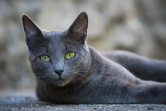 Chat (Marc Andreu) Tags: chat cat andreu marcandreu andreumarc animal intérieur indoor eyes yeux yellow green jaune look vert velue bokeh hairy félin nature gris blanc mignon regard patte kitten chaton mammifère chartreux grey wildlife outdoor animaldecompagnie