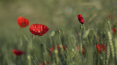 Mon paradis *-*-- °---° (Titole) Tags: poppy poppies barley field titole nicolefaton red perpetual challengegamewinner storybookwinner