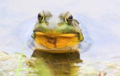green frog male at Waukon City Park IA 854A1166 (lreis_naturalist) Tags: green frog male waukon city park allamakee county iowa larry reis