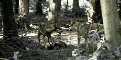 Wölfe......Hunger..... (st.weber71) Tags: anholterscheiz wildpark wölfe wolfsrudel tiere raubtiere verteidigung nrw germany deutschland natur nikon d800
