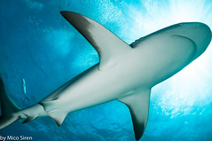 Caribbean reef shark (mico.siren) Tags: reef shark blue swimming nikon d300s bahama nikkor ikelite strobe caribbean