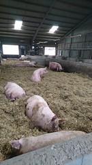 Idag är det öppen gård i Ängelholms kommun. Då körde vi och tittade på kor och grisar. Men katten va nog roligast tyckte Dogge🐈