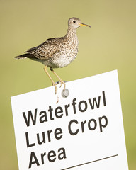 Upland Waterfowl? (Jeff Dyck) Tags: upland sandpiper uplandsandpiper bartramialongicauda oakhammockmarsh stonewall manitoba birds sign jeffdyck