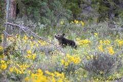 Grizzly cub-of-the-year (V. C. Wald) Tags: ursusarctoshorribilis grizzlybear grandtetonnationalpark tamronsp150600f563divcusdg2