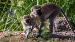 Tsavo West-8604 (ovg2012) Tags: kenia kenya tsavo tsavowestnationalpark