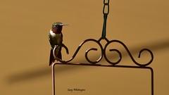 Hummingbird_7332 (Porch Dog) Tags: 2017 garywhittington kentucky nikond750 fx nikkor200500mm hummingbird backyard birdfeeder nature wildlife feathers bird avian rubythroated