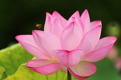 Lotus (Teruhide Tomori) Tags: japon japan kyoto nature summer flower lotus 夏 京都 花 ハス 日本 東寺 教王護国寺 toji pond garden macro bee