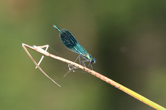 Banded Demoiselle - Female (Dawn Earl Pictures) Tags: paxton pits cambs dragonfly demoselle