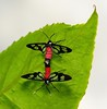 Clear-winged Tiger Moths/Wasp Moth (Syntomini, Arctiinae, Erebidae) (John Horstman (itchydogimages, SINOBUG)) Tags: insect macro china yunnan itchydogimages sinobug moth lepidoptera syntomini arctiinae arctiidae erebidae red onwhite 2 topf25 fbm tumblr