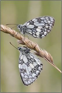 Marbled White (image 1 of 3)