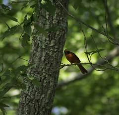 Shifty Cardinal (dzmears) Tags: bird birds green wildlife trees tree cardinal red