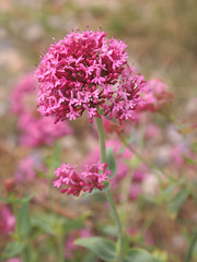 Wild Valerian (ekaterina alexander) Tags: wild valerian centranthus ruber red herb flower flowers ekaterina england alexander sussex coast nature photography pictures pink