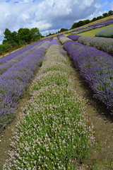 Verigation (dhcomet) Tags: hitchin ickleford herts lavender farm hertfordshire purple mauve row variety flower