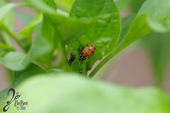 Macro-LadyBugs_132 (ZieBee Media) Tags: ladybug garden