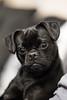 Kida (Aidan Jones Photography) Tags: dog pug black animal pet canine canon 5d 85mm 12 12l 85mm12l