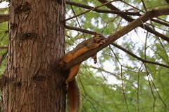 Squirrel Pancakes at Buffalo Bayou Park (Houston, Texas - July 20, 2017) (cseeman) Tags: buffalobayou park buffalobayoupark buffalobayoupartnership publicpark river water green nature trails houston texas houstonparks houston2017 squirrels squirrelpancakes animalpancakes foxsquirrels houstonsquirrels buffalobayouparksquirrels