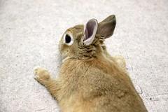 Ichigo san 796 (Ichigo Miyama) Tags: いちごさん。うさぎ ichigo san rabbitbunny netherlanddwarf brown ネザーランドドワーフ ペット いちご うさぎ rabbit