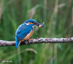 Kingfisher (johnthistle) Tags: kingfisher bird water fish farm trout gwash river canon