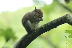 Nuts about nuts (charliejb) Tags: squirrel greysquirrel rodent mammal nut watersmeet nationaltrust 2017 northdevon wildlife tree fur furred furry
