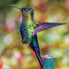 Fiery-throated Hummingbird (Panterpe insignis), Costa RIca (Lassetjus photo) Tags: copey provinciadecartago costarica cr