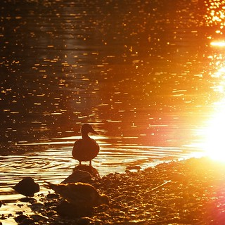Duck at sunset with air glittering from small small flies, flying everywhere