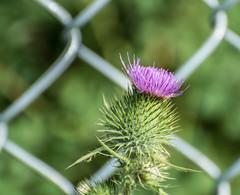 Fenced in. (Omygodtom) Tags: green fence texture digital stars plant weed outdoors nikkor natural nature nikon dof d7100 bokeh nikon70300mmvrlens pink park