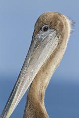 Brown Pelican (juvenile) (christopheradler) Tags: california brown pelican pelecanus occidentalis