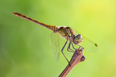 Sympetrum striolatum (Wide_Lab) Tags: sympetrum striolatum dragonfly insect macro closeup nature dragon wings odonata wing insects eyes invertebrates environment entomology color wildlife life animal natural bug libellula insetto natura naturale ngc