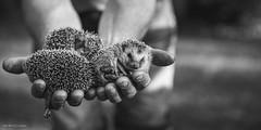 baby hedgehogs (Incredible Imagination) Tags: estonia estland viro bw 70200mm nikon fx sleeping hedgehog baby hands ooo sweet cute bokeh fingers hold animals animal outdoore outside city home