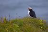 Papageientaucher (Role Bigler) Tags: alcidae canoneos5dsr cliff ef4070200isusml efextender14iii fraterculaarctica highiso natur nature papageientaucher puffin wasservogel bird dyrhólaey klippe nordatlantik northatlantic vik vogel