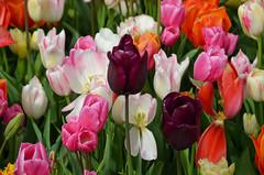 Tulipanes (PatriciaLimpias2009) Tags: tulipanes parquekeukenhof holanda