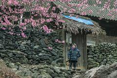 _J5K7988.0312.Sủng Máng.Mèo Vạc.Hà Giang (hoanglongphoto) Tags: asia asian vietnam northvietnam northeastvietnam spring flower people boy landscape scenery vietnamlandscape vietnamscenery vietnamscene landscapewithpeople village hmongvillage rock stonefence stone house home canon canoneos1dsmarkiii canonef70200mmf28lisiiusmlens đôngbắc hàgiang mèovạc sủngmáng phongcảnh mùaxuân bảnlàng ngôinhà hoa hoađào bảncủangườihmông cậubé cậubéhmông hàngràođá đá peachblossom