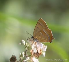 Brown Hairstreak from Alners Gorse (snapp3r) Tags: butterfly dorset alnersgorse brownhairstreak