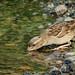 Sparrow Drinking Cumbria, UK