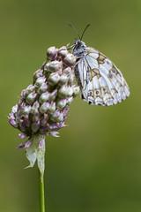 medioluto norteña.............. (hilariopv) Tags: hilarioperez volvoreta butterfly mariposas ocaurel macro verano ocourel pap