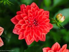 Dahlia (David S Wilson) Tags: panasoniclumixgx80 2017 england lumixg17425asph cambridgeshire ely fens davidswilson uk adobelightroom6 dahlia red flower floral garden new