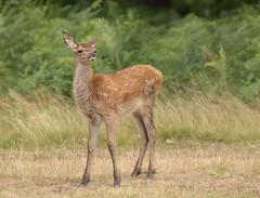 Red-Deer-Calf-9890 (Kulama) Tags: reddeer deer calf animals nature wildlife woods bracken fern grass land summer canon7dmarkii sigma150600563c