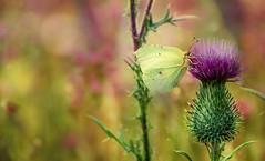 Acute plant. (augustynbatko) Tags: thistle plant nature butterfly insect macro summer july holiday cardo pianta natura farfalla insetto estate luglio vacanza