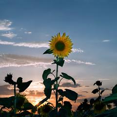 untitled . (helmet13) Tags: d800e raw flora sunflower helianthusannuus sunset sky clouds backlight flash peaceful summer agriculture aoi heartaward peaceaward world100f 200faves