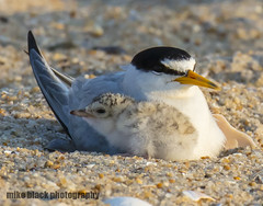 Tern and chick (Mike Black photography) Tags: bird tern hummingbird nj new jersey shore canon 5dsr 800mm big year mike black nature birding