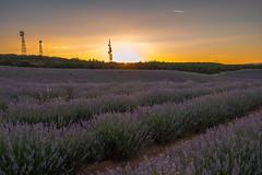 Malacuera Sunset (Kirikob12) Tags: landscape lanscape guadalajara lavanda sunset country fuji fujifilm morado purple lavander spain españa vistas views village campo paisajesdepueblosycampos plantation xt10 flickrunitedaward