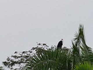 Sea eagle in Burundi