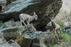IMG_7060 big horned lambs (starc283) Tags: starc283 wildlife nature naturesfinest canon canon7d colorado lamb bighorns bighornsheep bighornlambs