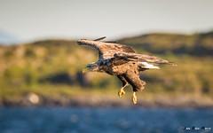Havørn-8499 (jarud) Tags: 2017 eagle fugl havørn naturopplevelser norge norway smøla whitetailed ørn