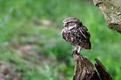 Little Owl (robin denton) Tags: owl littleowl bird nature wildlife uk yorkshire athenenoctua owlet pair birds birdphotography wildlifephotography