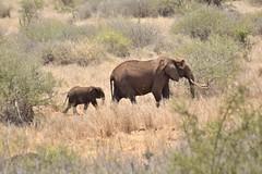 Leading the Way (The Spirit of the World) Tags: elephants babyelephant busg brush landscape wildlife nature africa kenya amboseli safari conservatory gamereserve