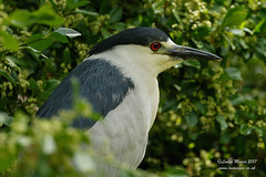 Night Heron (Louise Morris (looloobey)) Tags: aq7i7946 nightheron shropshire june2017 nigel sunshine bright pool pond park