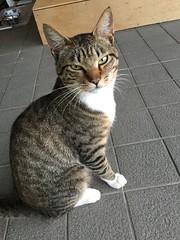 Friendly Onsen Cat (sjrankin) Tags: yuparonoyu yuparoonsen picturebynaomi japan hokkaido yubari cat animal edited 2august2017