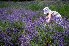 lavender field (sephrocker) Tags: efmmacro lavender purple field flowers calm green
